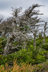 Wind Sculpted Snag - Coastal Trail