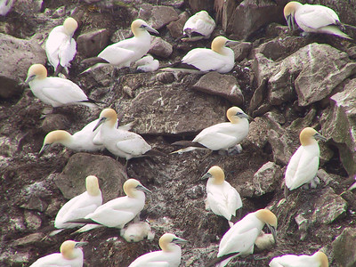 Gannet colony courtesy of Bob Speare