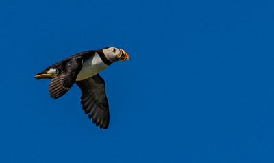 Gaining Altitude - Puffin Colony - Little Fogo Islands