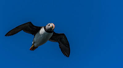 Puffins Don't Soar...
