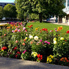 Flowers in full bloom in Anchorage!