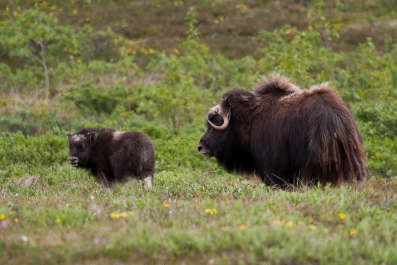 Muskox on Anvil Mountain