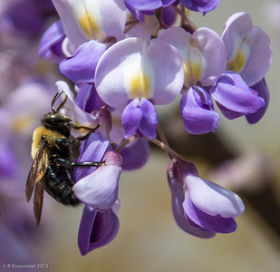 Bee and Wisteria