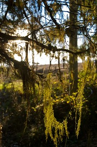Lichen and moss on the trees