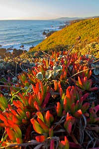 Ice Plant along the Sonoma Coast