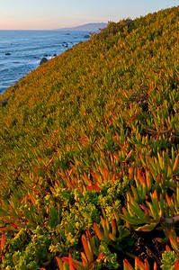 Ice Plants along the Sonoma Coast