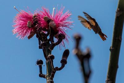 Berylline Hummingbird with Coquito Flower