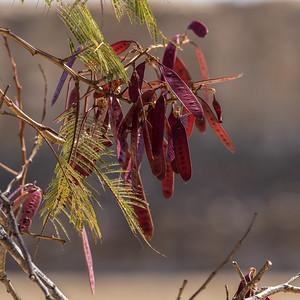 Guaje Tree