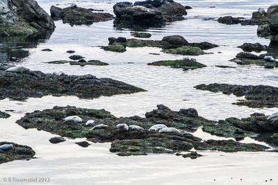 Harbor Seals, Sunset Beach,Cape Arago, Oregon, May, 2012