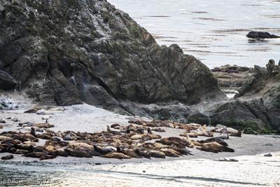 Sea Lions, Sunset Beach,Cape Arago, Oregon, May, 2012