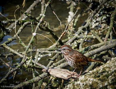 Fox Sparrow, Florence, Oregon, May, 2012