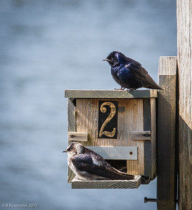 Purple Martins, Florence, Oregon, May, 2012