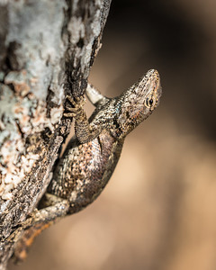Female Lizard