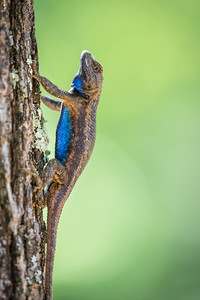 Male Lizard