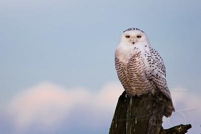 Snowy Owl. Boundary Bay, BC