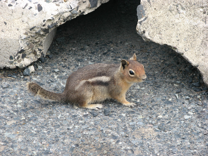 A friendly chipmunk we encountered along the Spirit Lake Highway going up to Mount Saint Helens.