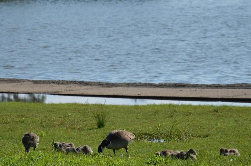 Geese at the Tidal Basin