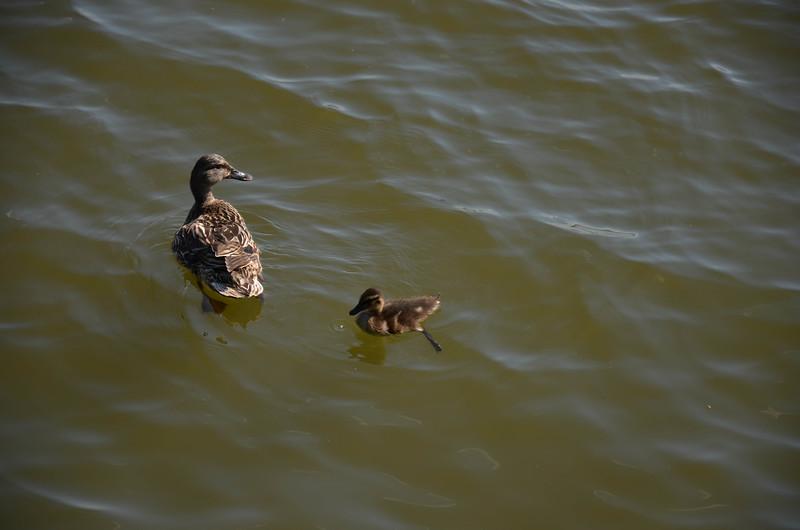 Ducks in Tidal Basin