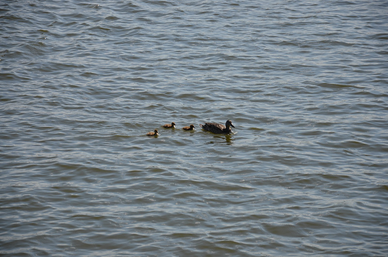 Ducks in Tidal Basin