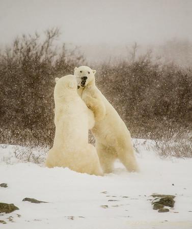 Polar Bears of Churchill