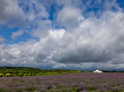 Lavender Field, Ile  d' Oreleans, Quebec, 2007