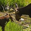 Moose Cow & Calf