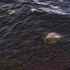Jellyfish in the Arctic Ocean | Barrow
