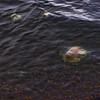 Jellyfish in the Arctic Ocean | Barrow