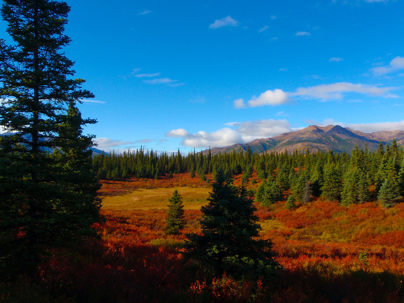 Gorgeous Fall colors in Denali Park