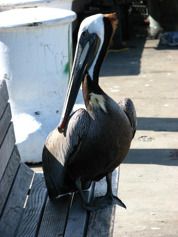 Big pelican.
