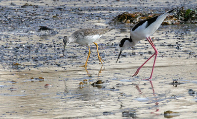 Stilt & Yellow-legs, Santa Barbara, CA, 2004