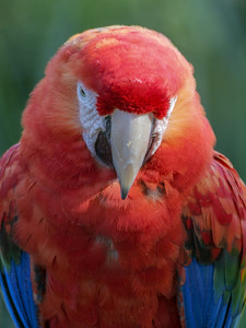 Red-and-green Macaw, Santa Barbara Zoo, 2004