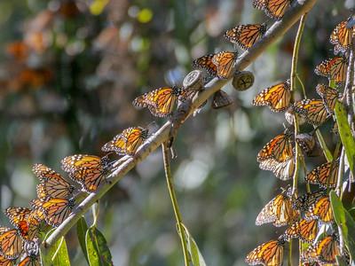Monarchs, Coronado Butterfly Preserve, Goleta, CA, 2004