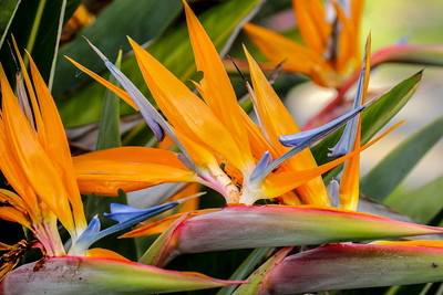 Bird of Paradise, Santa Barbara, CA, 2004