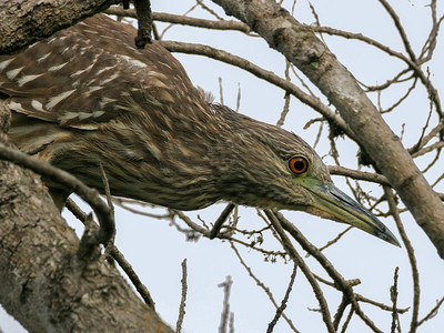 Black-crowned Night-Heron, Santa Barbara, CA, 2004