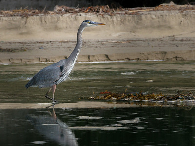 Great Blue Heron, Santa Barbara, CA, 2004