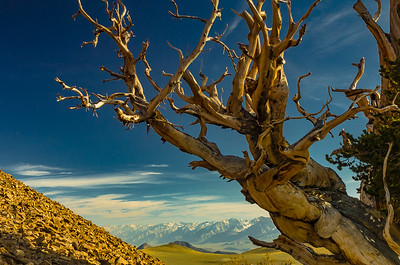 2004 Image of Bristlecone, Talus, and Distant Sierras - D2H