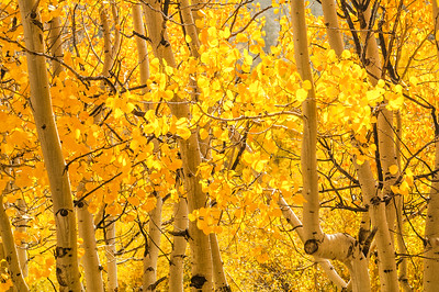 Aspens near McGee Creek Canyon