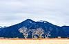 Sunlit Cottonwoods- Taos, NM