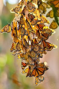 Monarch Butterflies. Santa Barbara, CA.