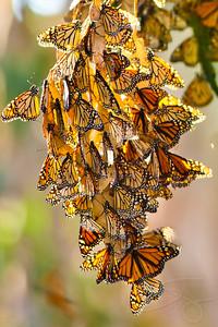 Monarch Butterflies. Santa Barbara, CA.