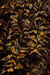 Monarch Butterflies. Santa Barbara.