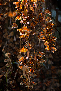 Monarch Butterflies. Santa Barbara.