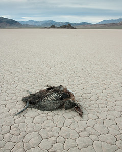 death in death valley. bird carcass at the playa, death valley national park, ca