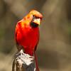 Northern Cardinal at Laguna Atascosa NWR