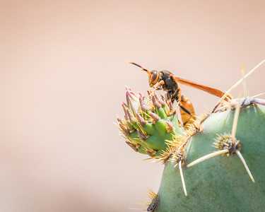 Wasp and Prickly Pear Cactus