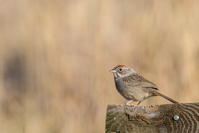 Rufous-capped Sparrow