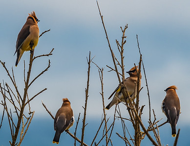 Cedar Waxwings - Oregon Coast