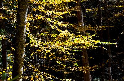 Sunlit Leaves 2- NC