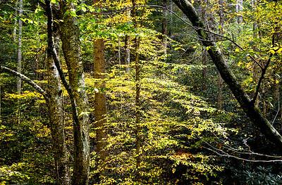 Sunlit Tree- NC